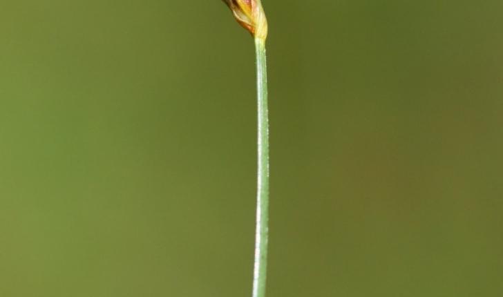 Scirpus pauciflorus (Hartmann) O.Schwarz, 1949