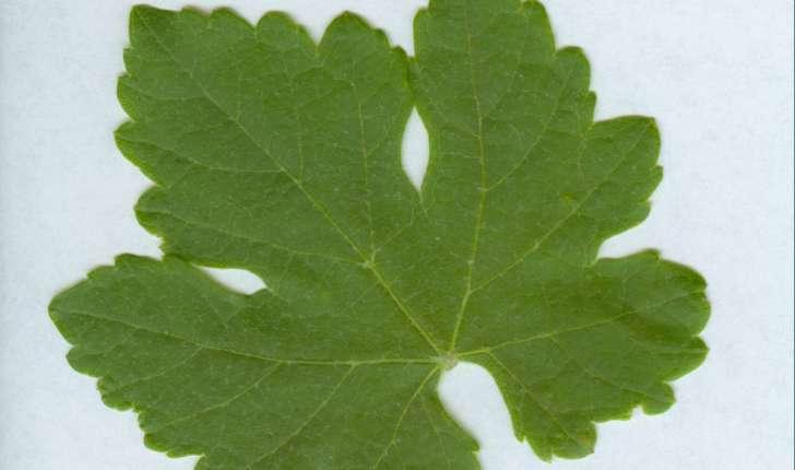 Vitis vinifera (L., 1753)