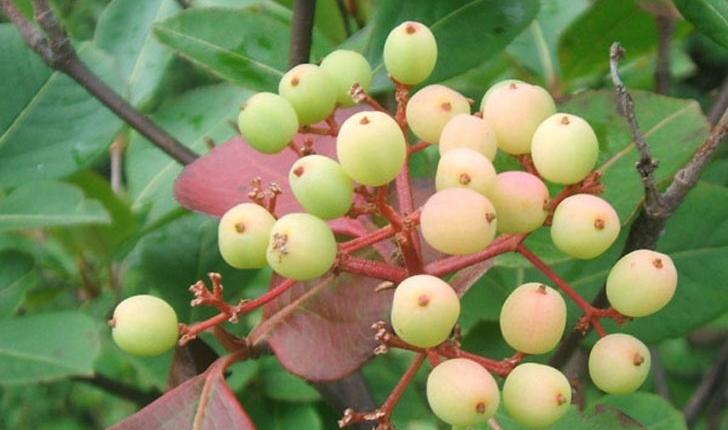 Viburnum nudum