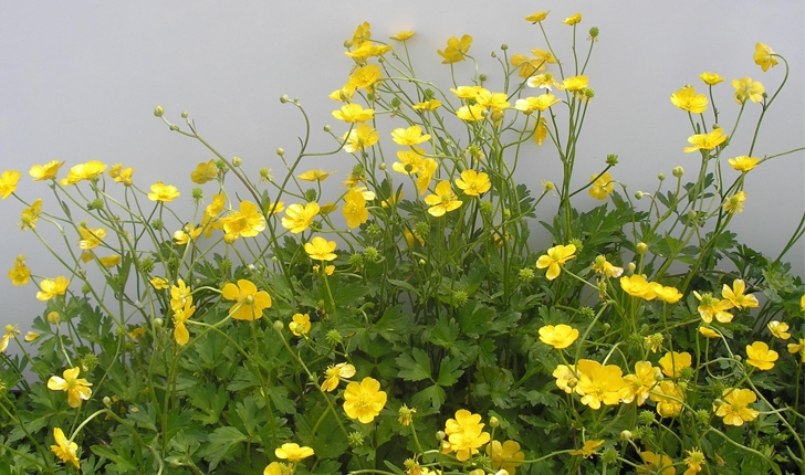 Ranunculus repens (L.,1753)