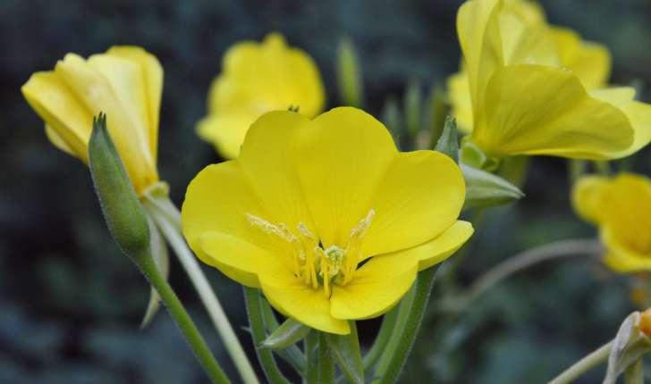 Oenothera biennis (L., 1753)