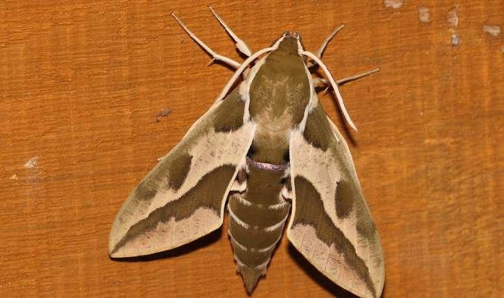 Hyles euphorbiae (Linnaeus, 1758)