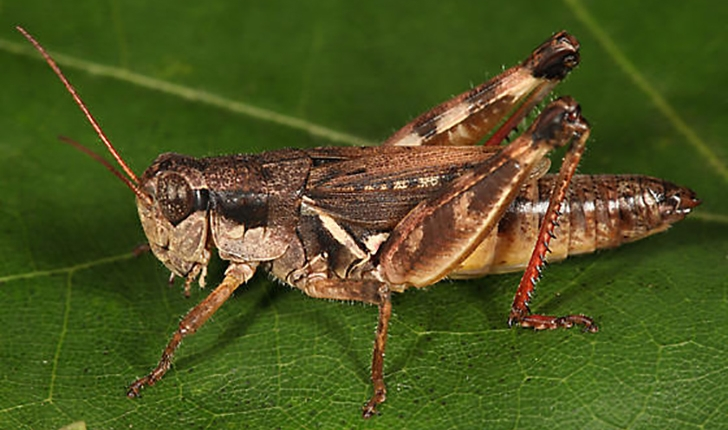 Melanoplus fasciatus, Walker 1870