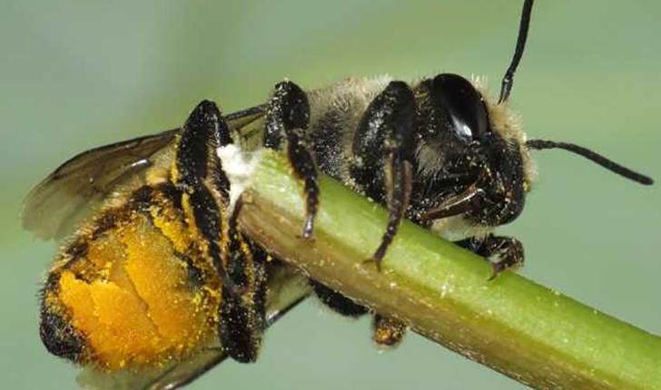 Megachile centuncularis, Linné 1758