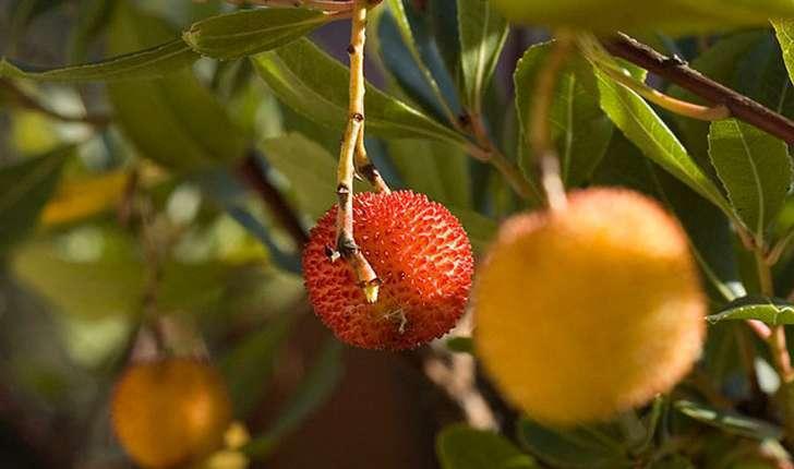 Arbousier ou arbre fraises balade randonn e pr s de - Fruit de l arbousier ...