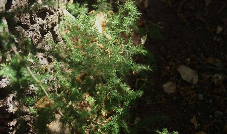 Asparagus acutifolius (Linné, 1753)