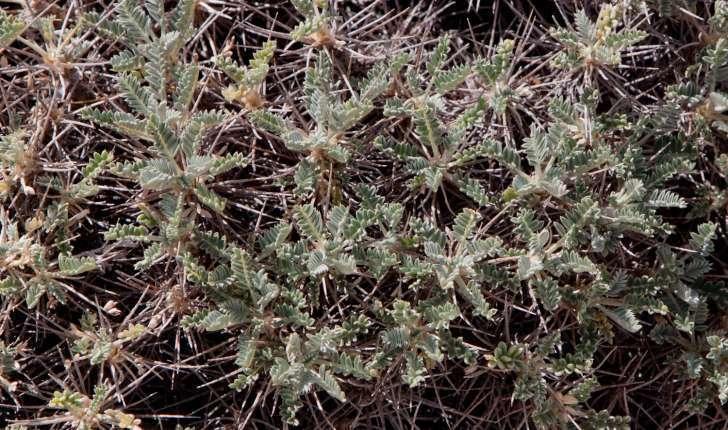 Astragalus tragacantha (Linné, 1758)