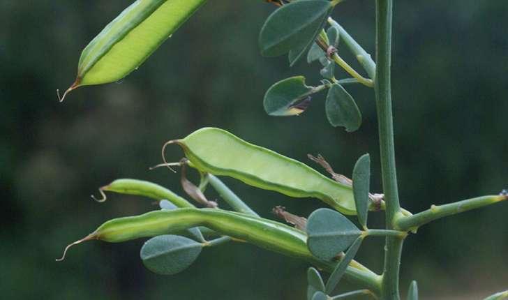 Calicotome spinosa (Link, 1822)