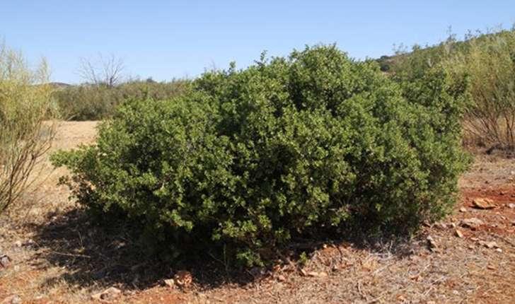 Quercus coccifera (Linné, 1753)