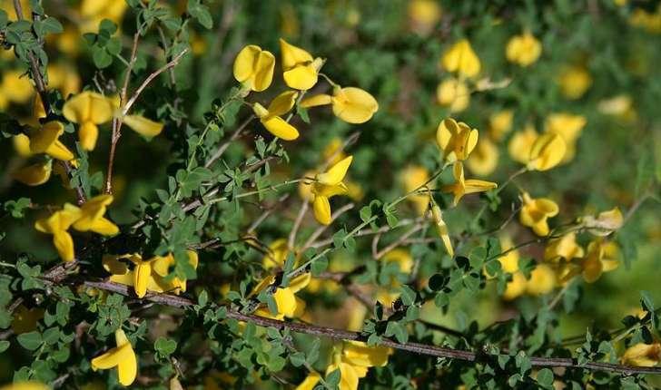 Cytisophyllum sessilifolium (O. Lang, 1843)