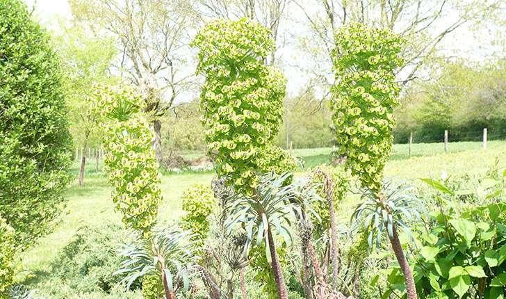 Euphorbia characias (Linné, 1753)