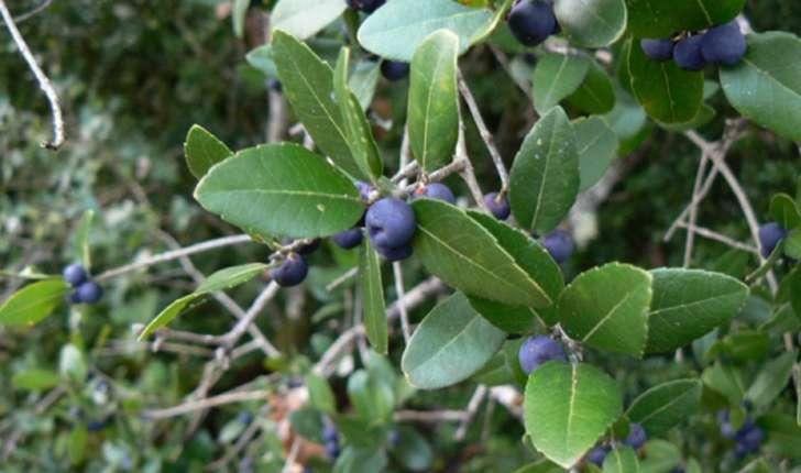 filaire à feuille larges feuilles et fruits