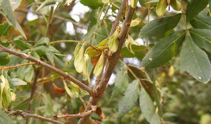 Fraxinus excelsior (Linné, 1753)