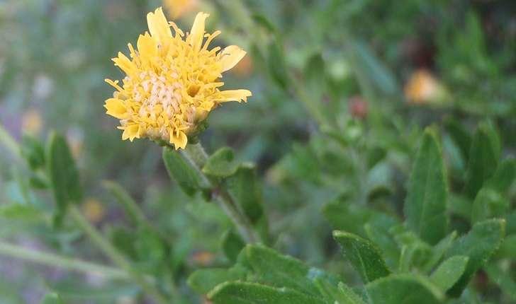 Dittrichia viscosa (Greuter, 1973)