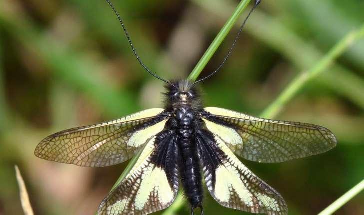 Libelloides sp