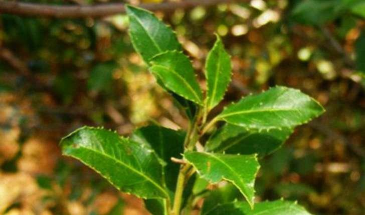 Rhamnus sp