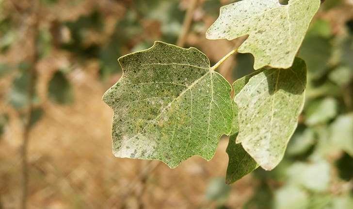 Populus sp (L., 1753)
