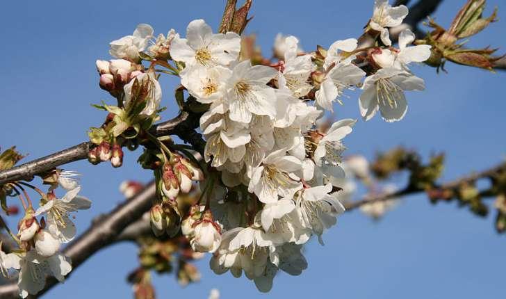 Prunus avium (Linné, 1755)