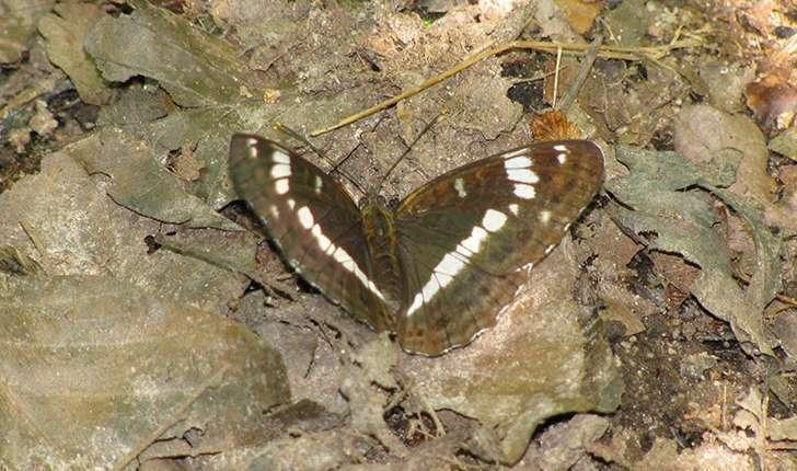 Brintesia circe (Fabricius, 1775)