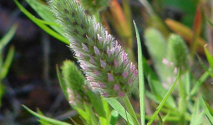 Trifolium angustifolium (Linné, 1753)