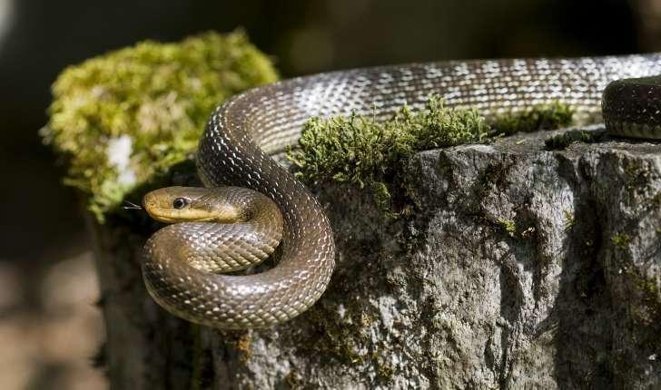 Couleuvre d'Esculape - Zamenis longissimus