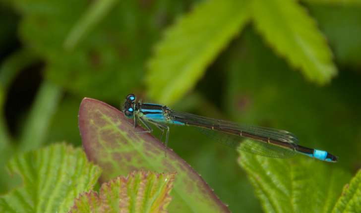 Coenagrion sp, Ceriagrion sp, Ishnura sp, Enallagma sp