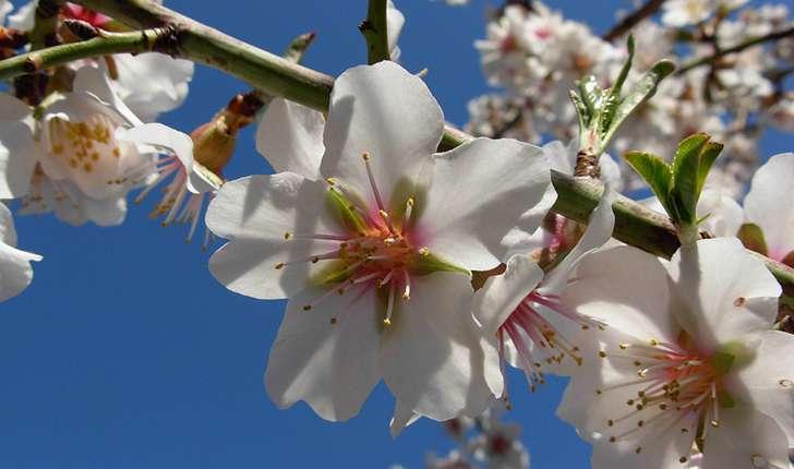 Fleurs d'Amandier (Crédits : Gunera)