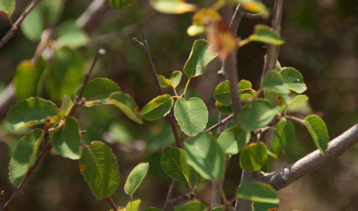 Amelanchier ovalis (Medikus, 1793)