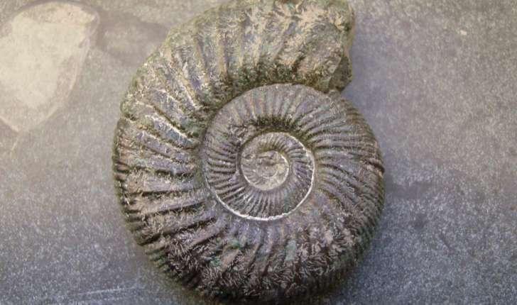 Ammonoidea (Zittel, 1884)