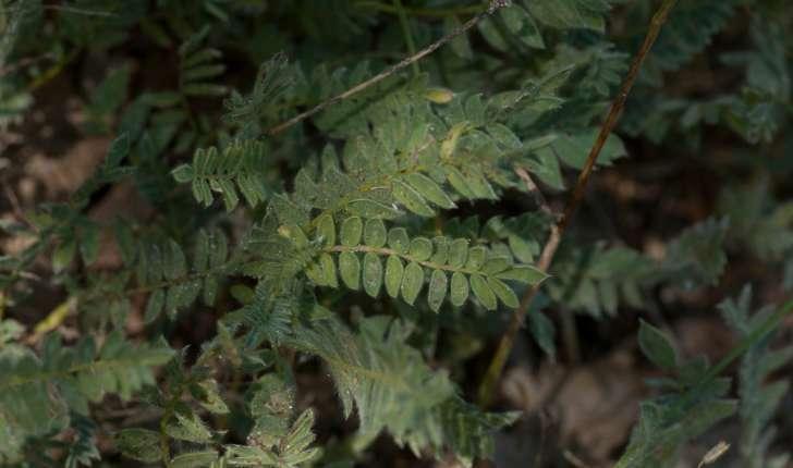 Anthyllis montana (Linné, 1753)