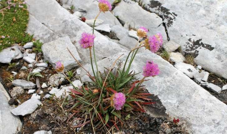 Armeria alpina Willd., 1809