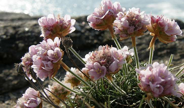 Armeria maritima (Willd., 1809)