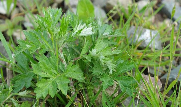 Artemisia vulgaris (L.,1753)
