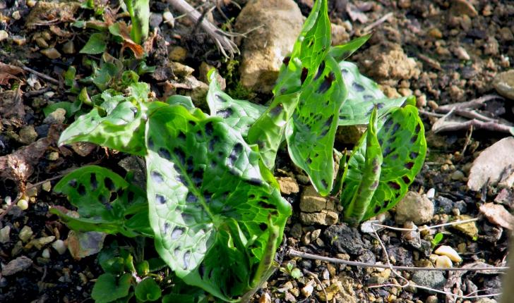 Arum maculatum L., 1753