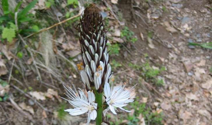 Asphodelus albus Mill.