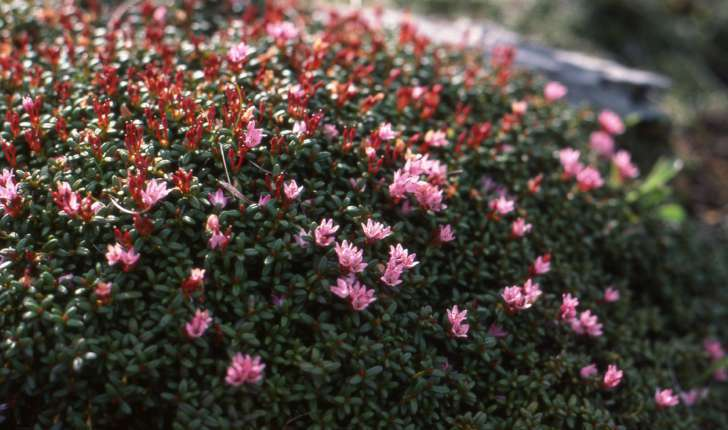 Loiseleuria procumbens (L.)