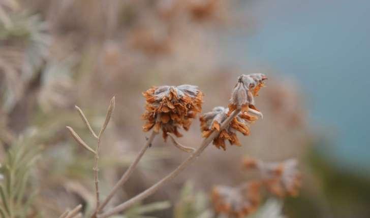 Anthyllis barba jovis (L. 1753)