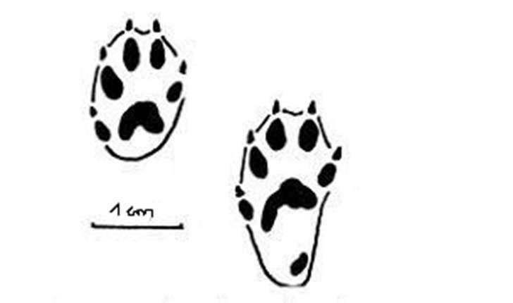 Mustela nivalis (Linnaeus 1766)