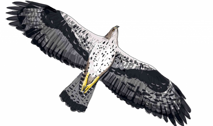 Aquila fasciata (Vieillot, 1822)