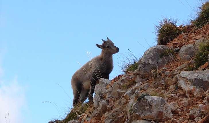Capra ibex (Linnaeus, 1758)