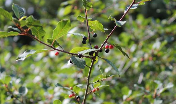 Frangula alnus subsp. alnus (Mill., 1768)