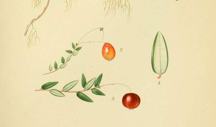 Vaccinium oxycoccos (Hill A. Gray, 1848)