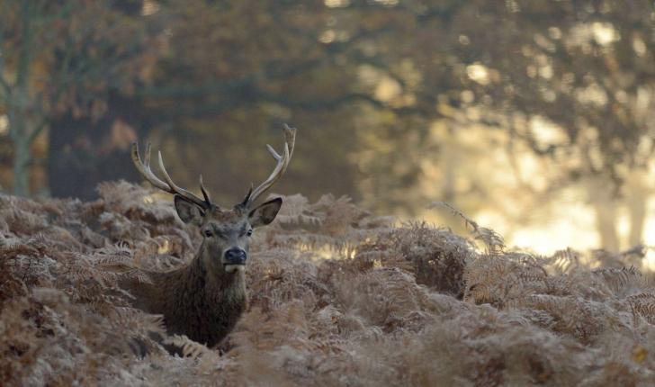 Cerf élaphe (Crédit: Richard Fisher - Flickr)