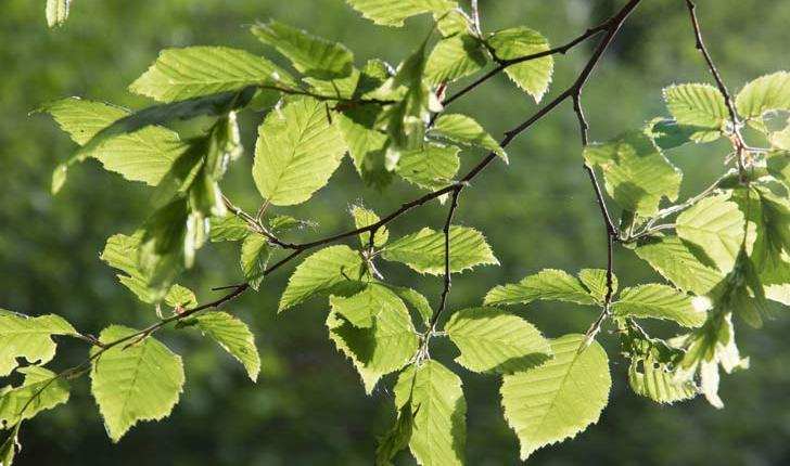 Carpinus betulus (L., 1753)