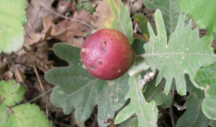 Quercus pyrenaica (Willd., 1805)