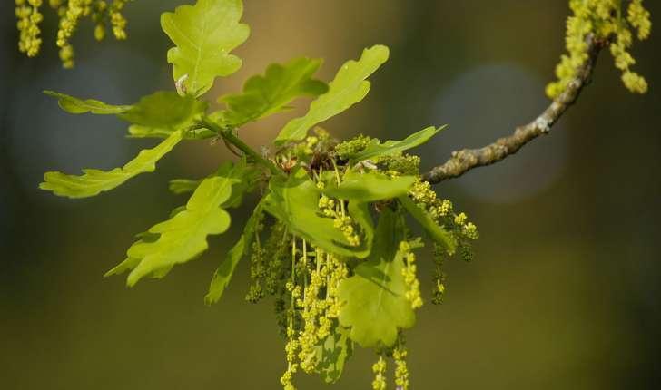 Quercus robur (L., 1753)