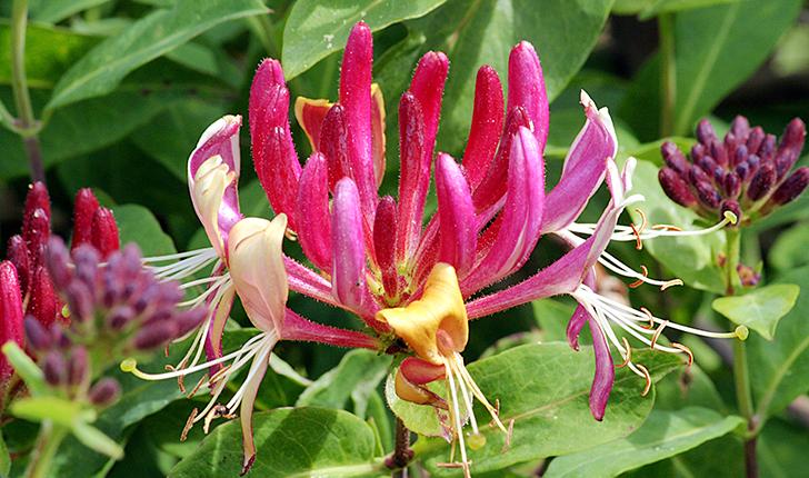 Lonicera caprifolium (L., 1753)