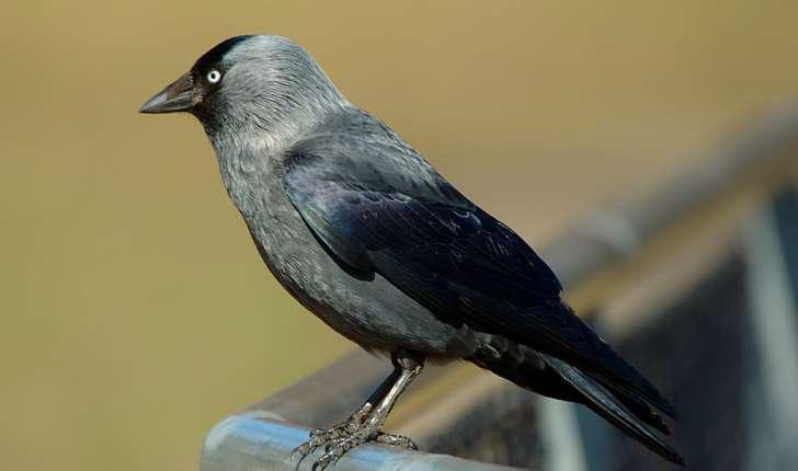 Corvus monedula  (Linné, 1758)