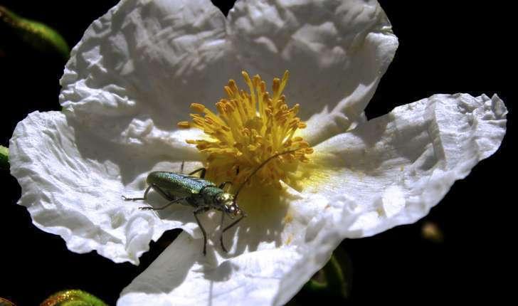 Cistus laurifolius Crédit:  jacinta lluch valero (flickr) 1