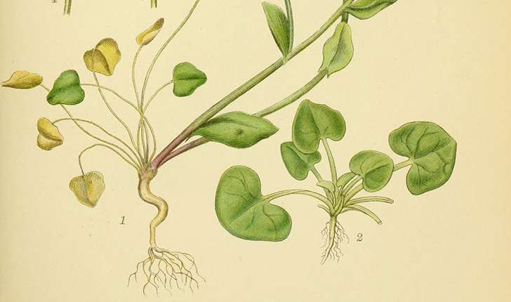 Cochlearia officinalis (L., 1753)